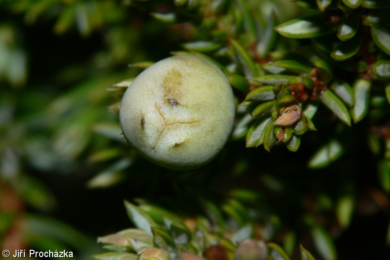 Juniperus communis – jalovec obecný
